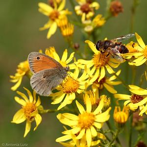 Kleines Wiesenvögelchen (Coenonympha pamphilus)