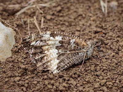 Weisser Waldportier (Brintesia circe)
