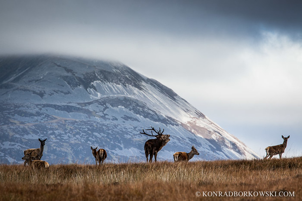 Rutting stags in his herd of hinds near the Paps of Jura, Isle of Jura.