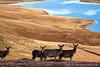 Red deer hinds in Ruantallain Estate, Isle of Jura.