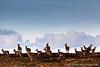 Herd of red deer hinds in Ruantallain Estate, Isle of Jura.