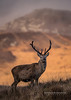 Deer Stag Paps Light_17