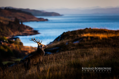 Rutting stag at sunrise, Lagg, Isle of Jura