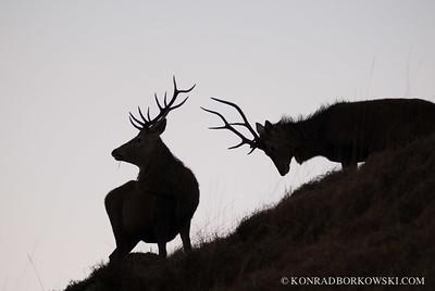 Jura Red Deer