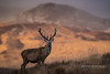 Deer Stag Paps Light_15