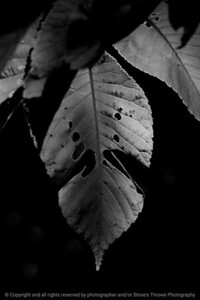 015-leaf-wdsm-29may17-12x18-004-bw-9356
