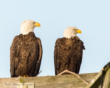 Eagle Couple looking Stern