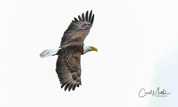 Eagle in flight on white sky-3