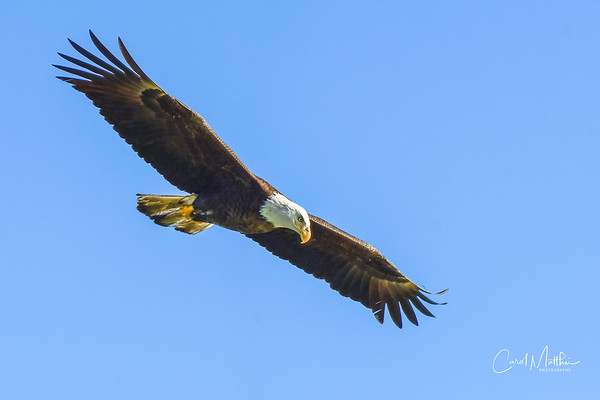 Eagle flying in for a visit-2