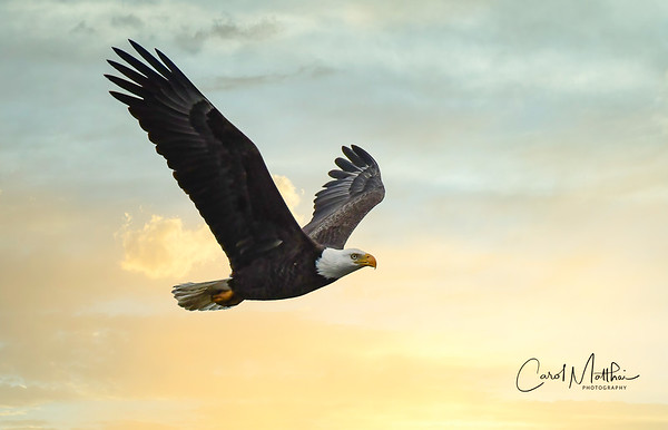 Cross Creek Eagle at sunddown