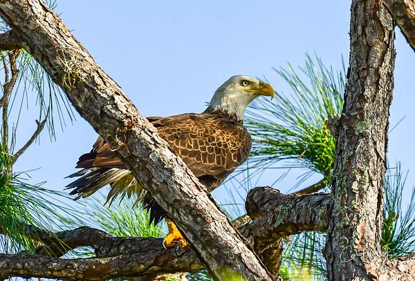Eagle visit-5