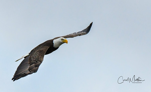 Eagle at Cross Creek