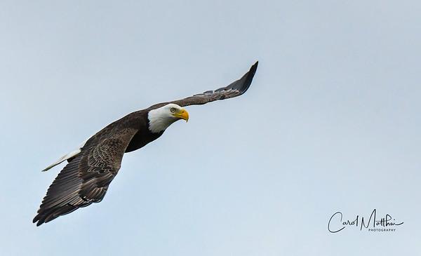 Eagle at Cross Creek