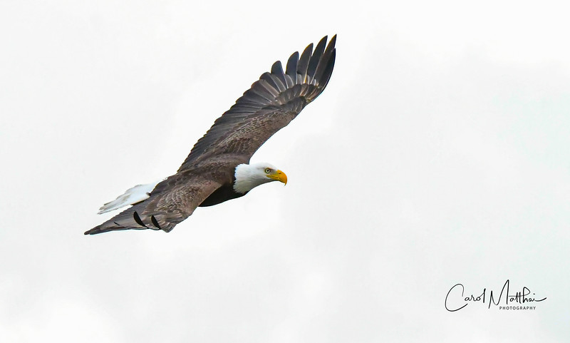 Eagle in flight on white sky-4