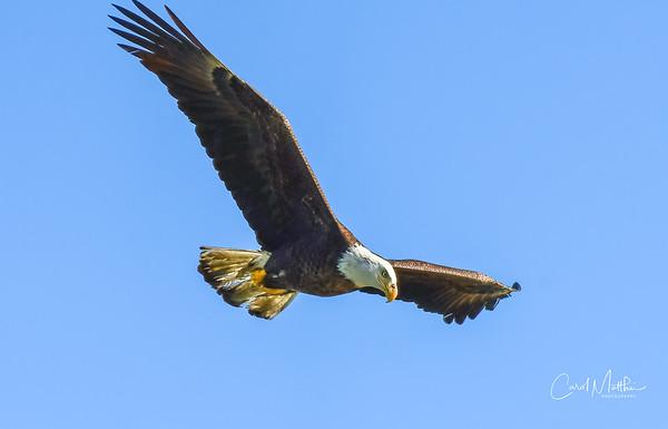 Eagle flying in for a visit