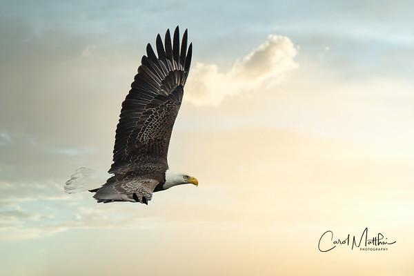 Bald Eagle at Cross Creek