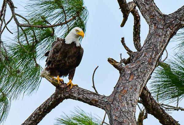 Bald Eagle overlooking the 17th Fairway at Cross Creek