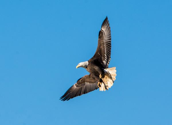 Eagle Tricks in the air