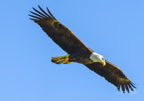 Eagle flying in for a visit-3