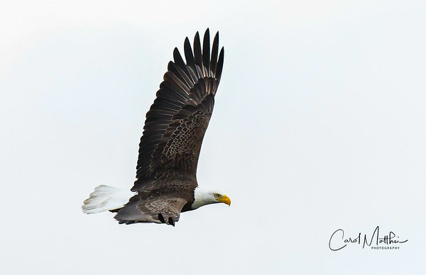 Cross Creek Eagle on 17th Fairway