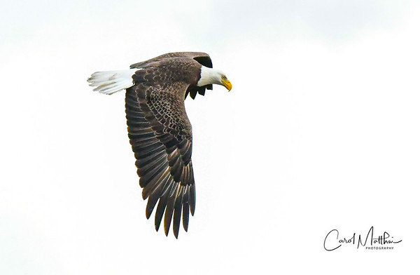 Eagle in flight on white sky-2