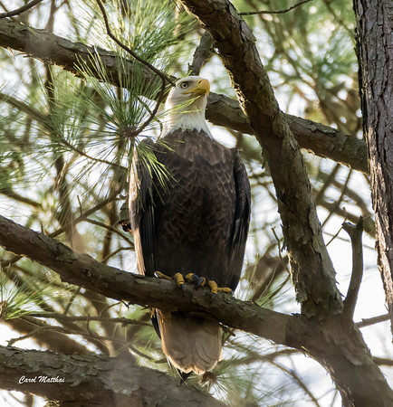 Bald Eagle way up in the trees