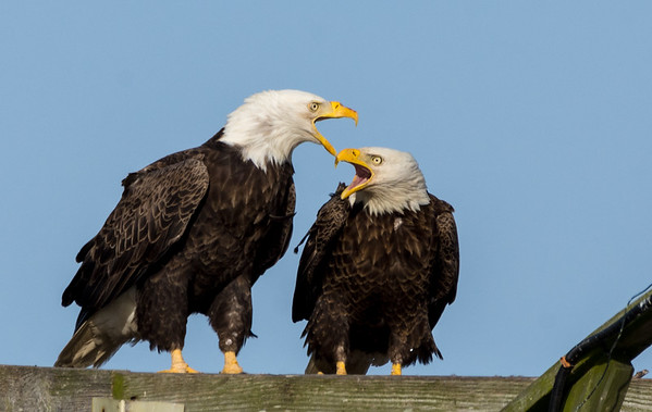 Mated Eagles ~ Singing Songs of Love