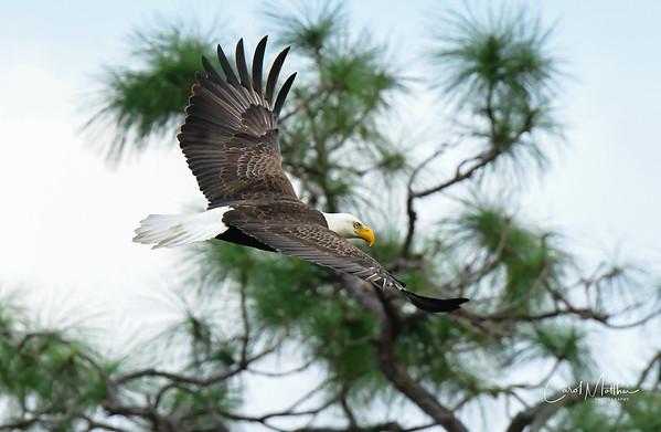 Cross Creek Eagle Flyby