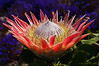 Protea cynaroides.  Native to S.Africa.
