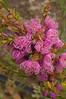 Melaleuca Thymifolia.  Native to Australia.