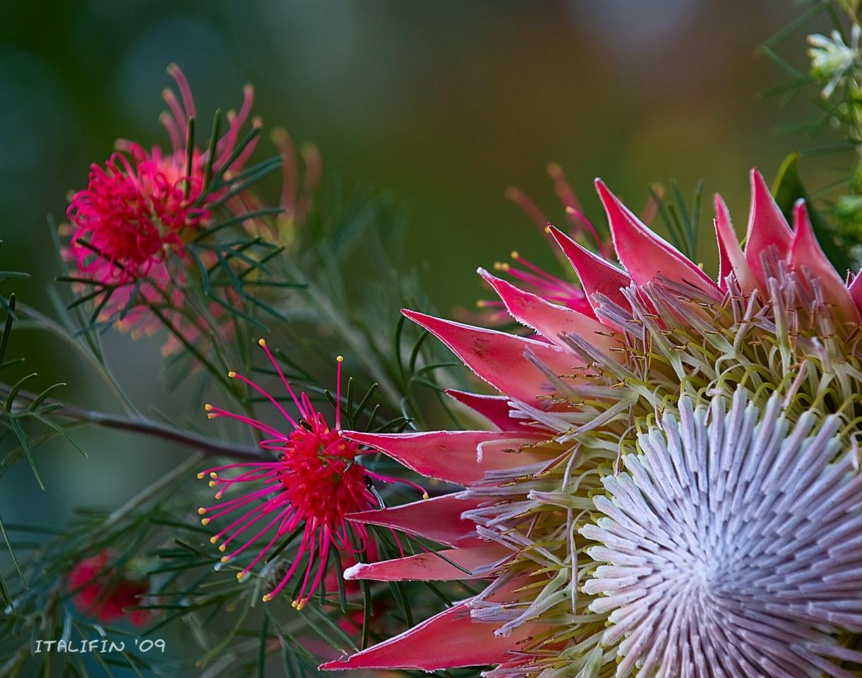 Grevillea thelemanniana (Australia) and Protea cynaroides (S.Africa).