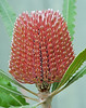 Banksia menziesii.  Native to Australia.
