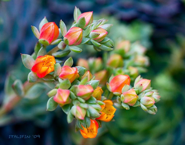Echeveria sp.  Native to Mexico.