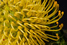 Leucospermum 'High Gold'.  Native to S.Africa.