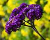 Heliotropium arborescens 'Purple Marine'.