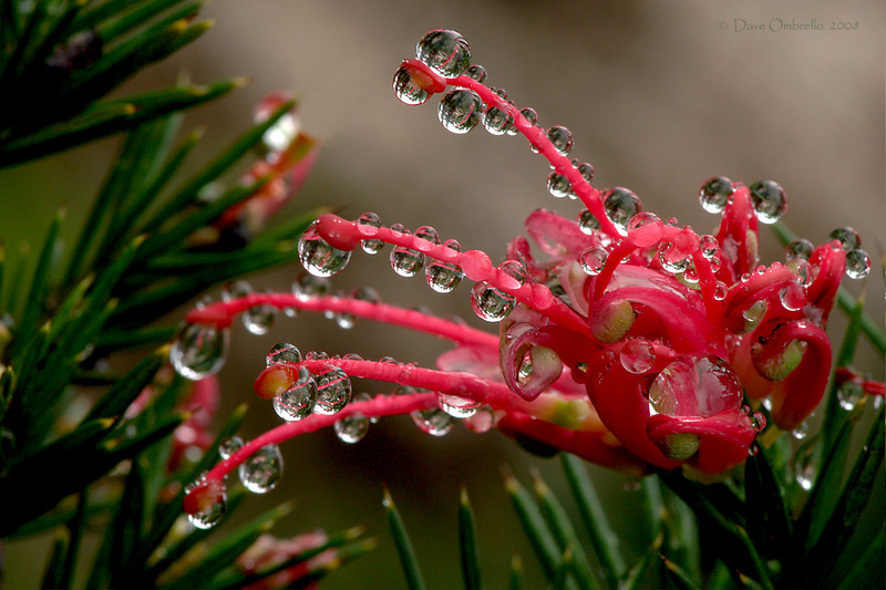 Grevillea 'Canberra'.  Native to Australia.