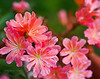 Lewisia sp.  Native to Western USA.