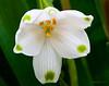 Leucojum gravetye 'Summer Snowflake'.  Bulb native to S.Africa.