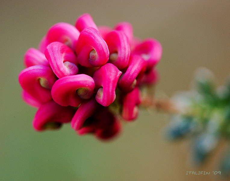 Grevillea lanigera 'Coastal Gem'.  Native to Australia.