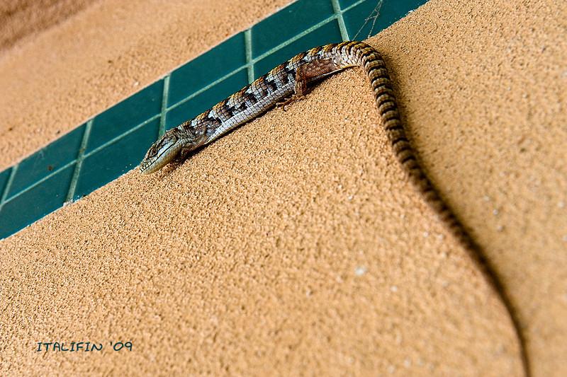 Class pet lizard2