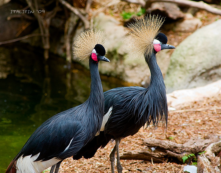 Crested pair