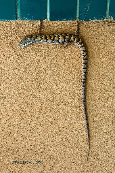 Class pet lizard