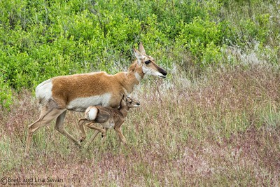 Pronghorn Doe and Fawn-sticking close to mom