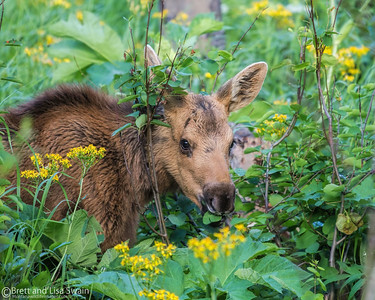 Moose Calf of the Year