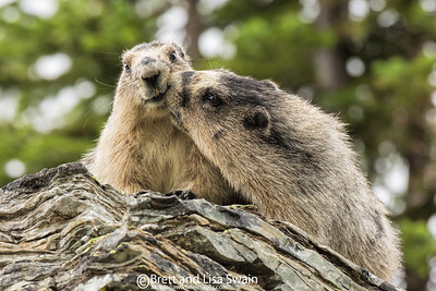 Marmot Affection