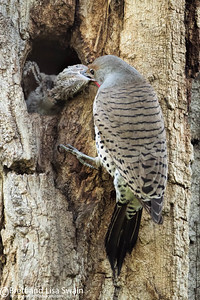 Male Northern Flicker Feeds Baby