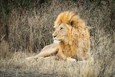Lion Ndutu pride 3461
