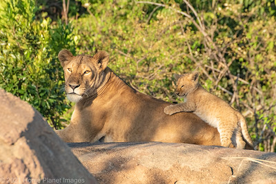 Lioness and cub 1227