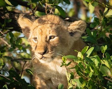 Lion cub 1214