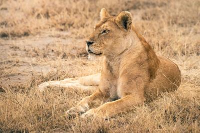 Lioness 8894
